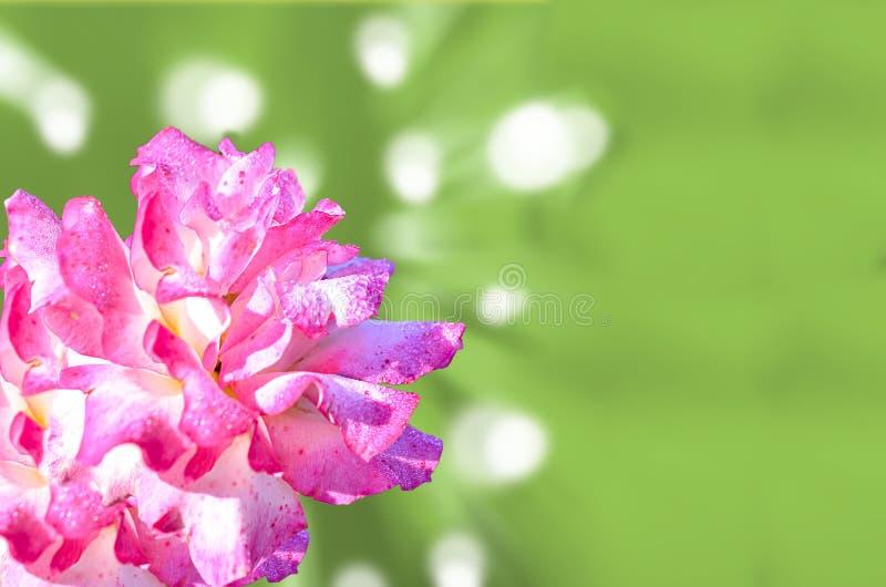 Rose rosa clara en fondo abstracto foto de archivo