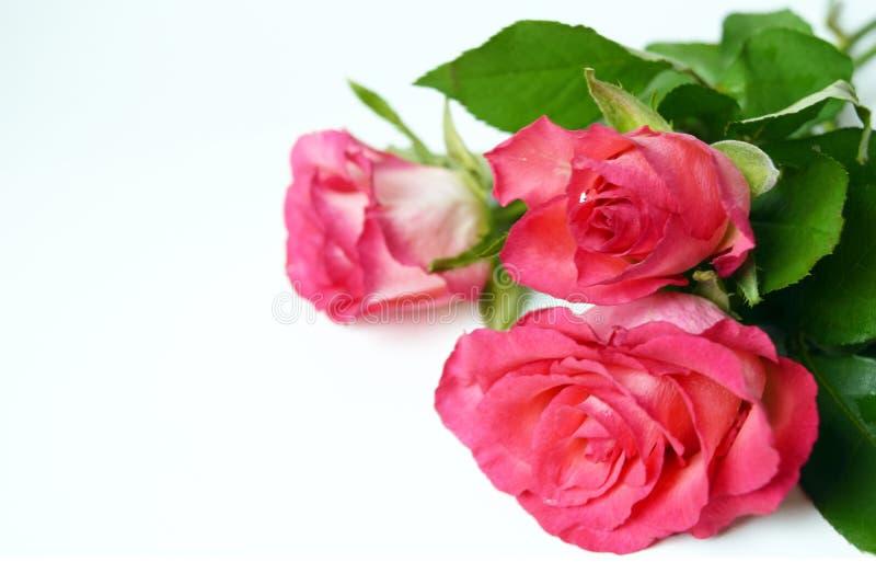 Rose rosa del mazzo in rugiada di goccia Fiori freschi del giardino su bianco fotografia stock libera da diritti