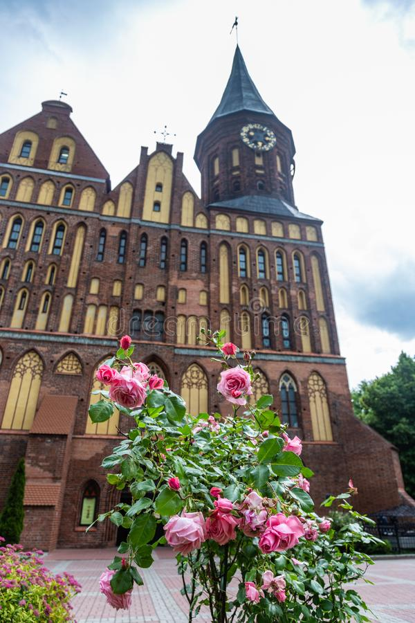 Rose rosa delicate davanti alla cattedrale in cui la tomba di Immanuel Kant è individuata, Kaliningrad, Russia fotografie stock