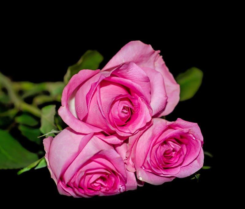 Rose rosa, fine su fotografia stock libera da diritti