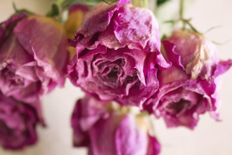 Rose rosa su secche chiuse fotografia stock