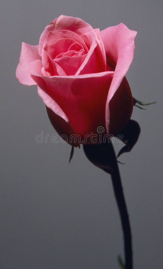 Rose rosada foto de archivo