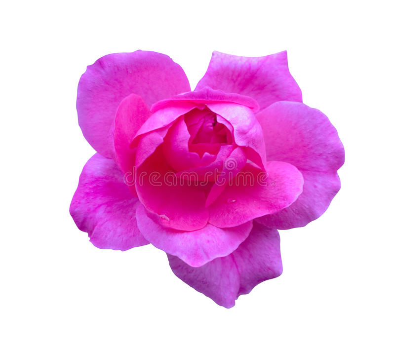 Rose rosada aislada Flor hermosa en el fondo blanco foto de archivo libre de regalías