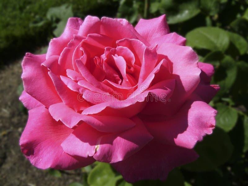 Rose rosada brillante maravillosamente única imagenes de archivo
