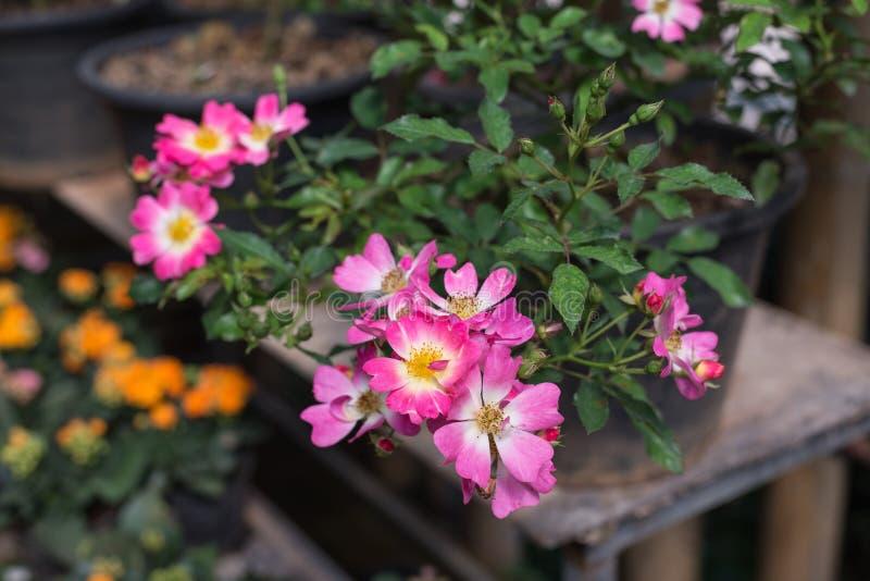 Rose rosada en el jardín imagen de archivo