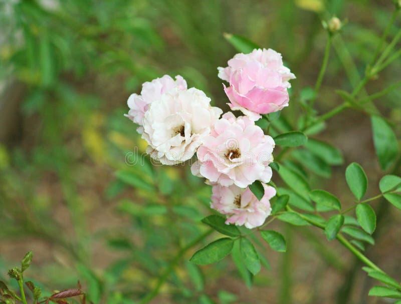 Rose rosada en el jardín fotografía de archivo libre de regalías