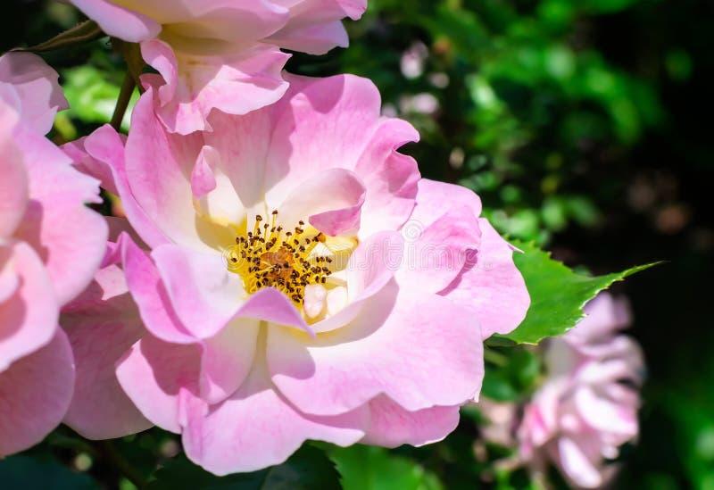 Rose rosada en el jardín fotos de archivo