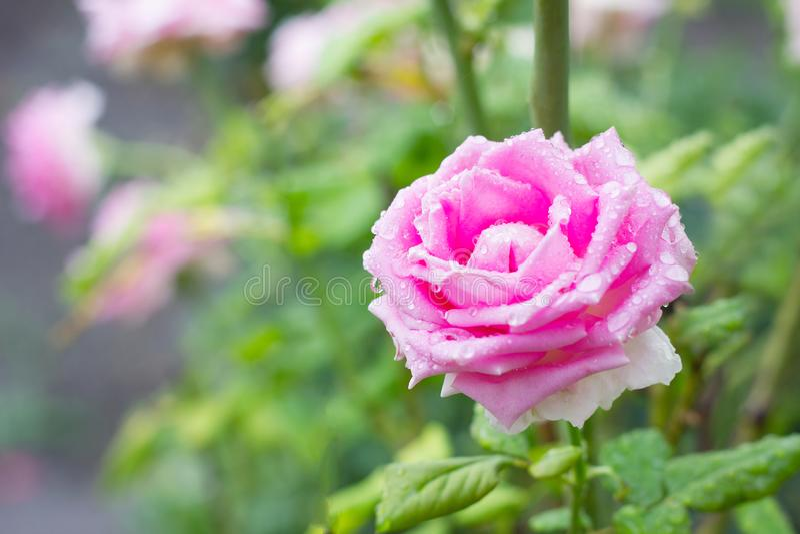 Rose rosada en el jard?n fotografía de archivo libre de regalías