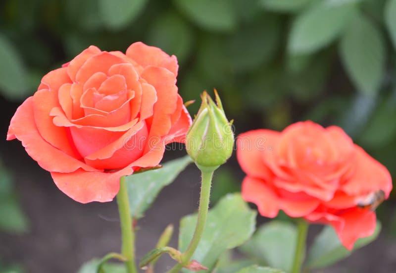 Rose rosada en las flores rosadas de las rosas del fondo Naturaleza fotos de archivo
