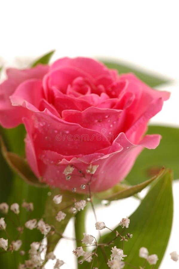 Rose rosada hermosa imagen de archivo libre de regalías