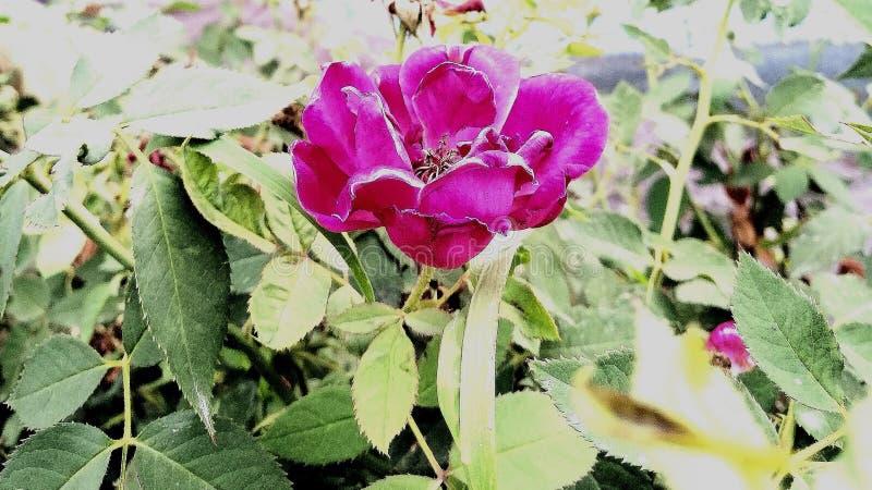 Rose rosada que brilla intensamente entre verde deja parecer hermosa imágenes de archivo libres de regalías