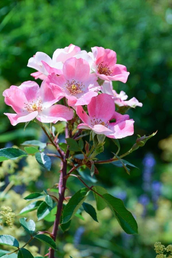 Rose rosada que florece en jardín contra fondo verde imágenes de archivo libres de regalías