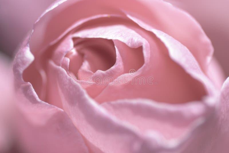 Rose rosada suave macra imagen de archivo libre de regalías