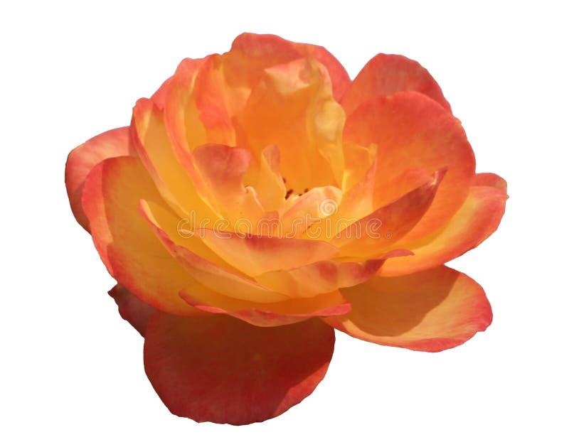 Rose rosada y amarilla aislada imagenes de archivo