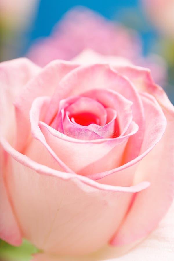 Rose rose photo stock