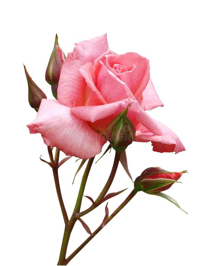 Rose rose avec des bourgeons photos libres de droits