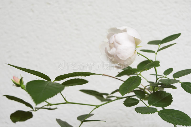 Rose and rose bud against a white concrete wall. White/pinkish rose and rose bud against a white concrete wall. With the leaves and the depth of field almost stock images