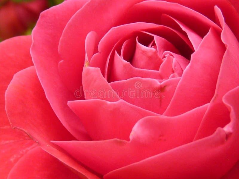 Rose rose dans la fin vers le haut de la photographie images libres de droits
