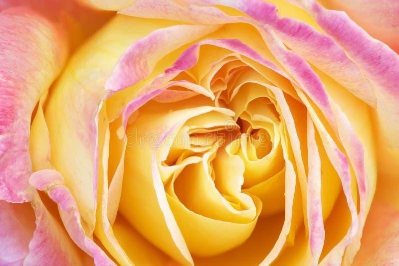 Rose rose et jaune images stock