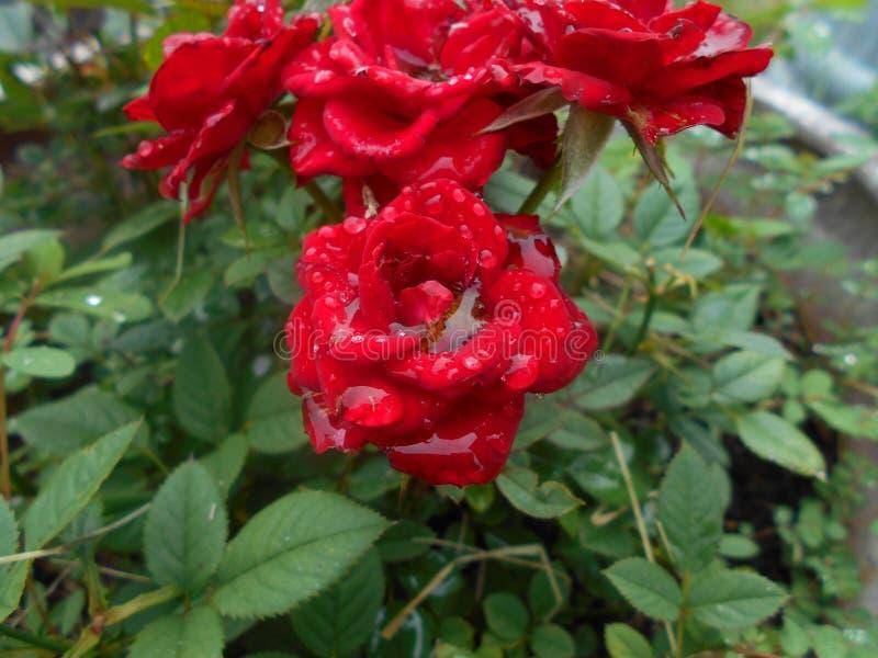 Rose, Rose Family, Flower, Plant Free Public Domain Cc0 Image