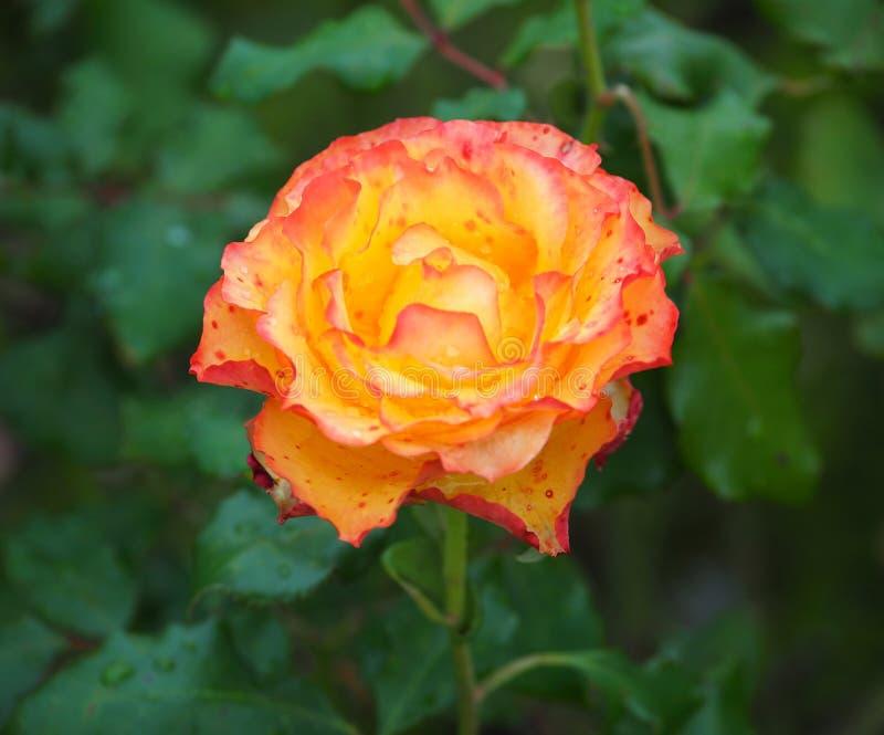 Rose In Rose Garden Tralee Ireland. Orange and Yellow rose in rose garden Tralee Ireland stock photo