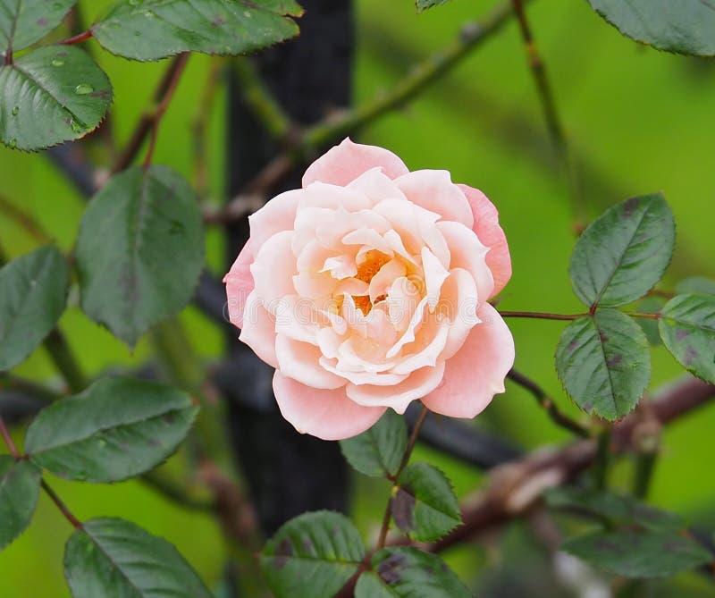 Rose In Rose Garden Tralee Ireland. Pale pink rose in rose garden Tralee Ireland royalty free stock photos