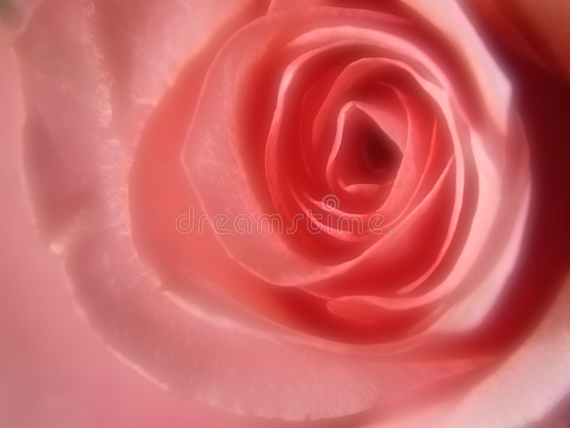 Rose rose gaussienne photo stock