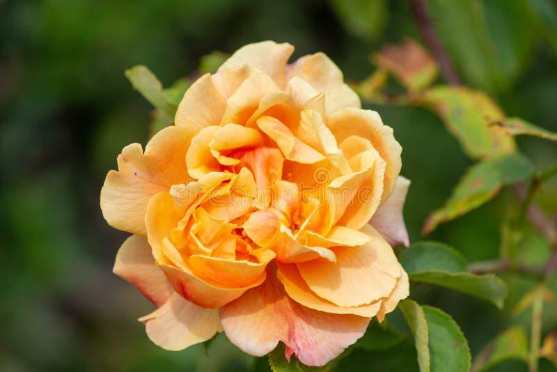 Rose royalty free stock photo