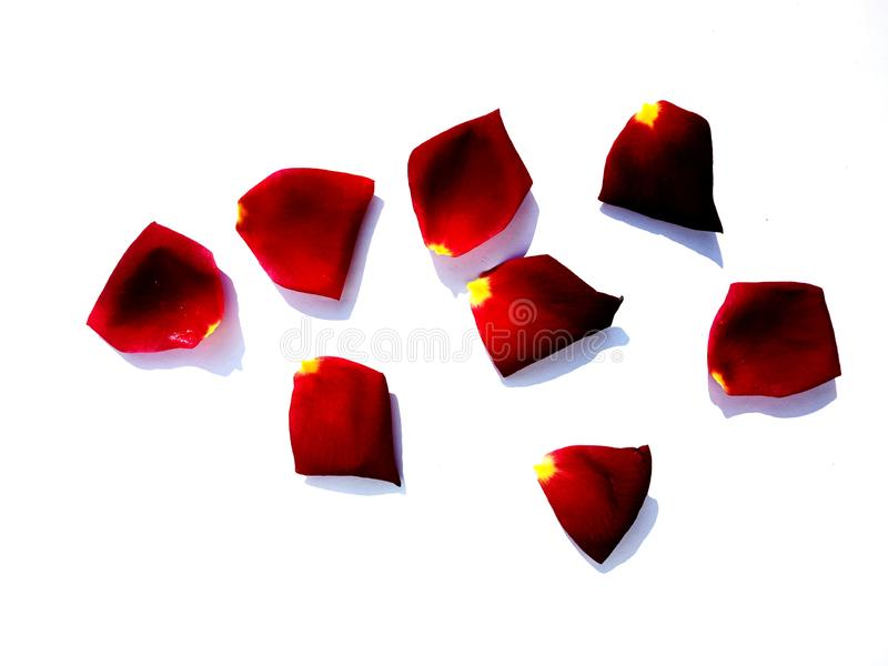 Rose rose petals isolated on white background. stock photos