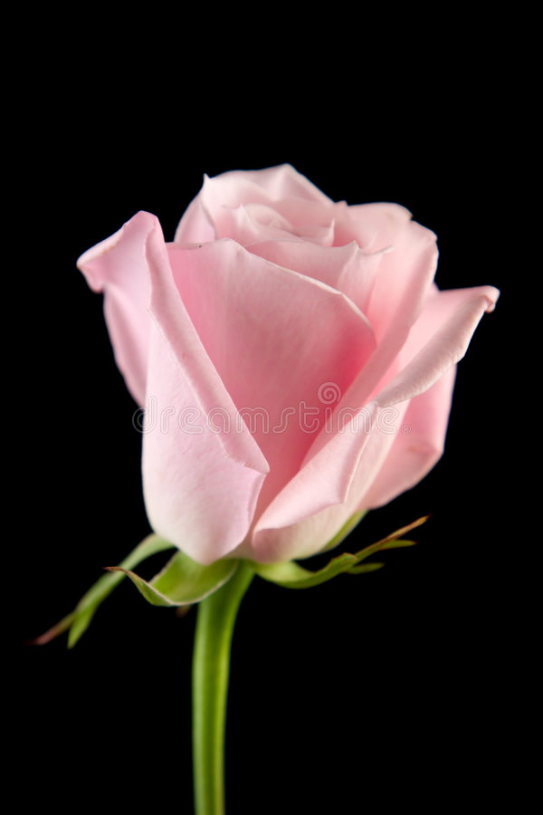 Rose rose simple image stock