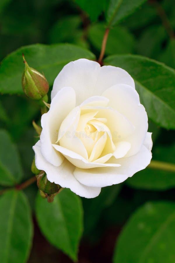 rose rosebudwhite arkivbild