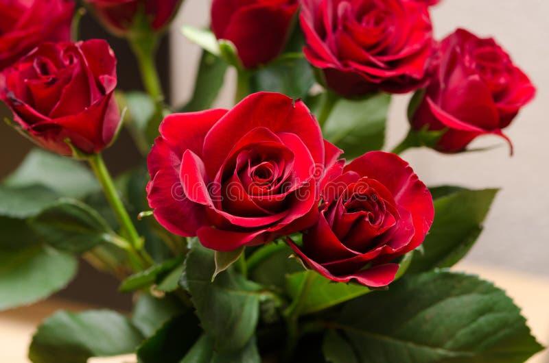 Rose rosse immagini stock libere da diritti