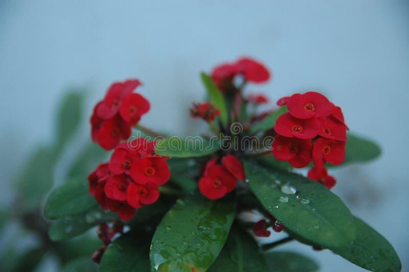 Rose rosse alte vicine, fiori rossi ed ideale verde della foglia per fondo fotografia stock libera da diritti