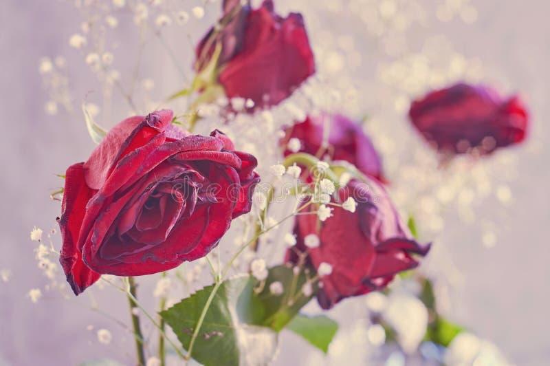 Rose rosse appassite con i piccoli fiori bianchi immagine for Fiori piccoli bianchi