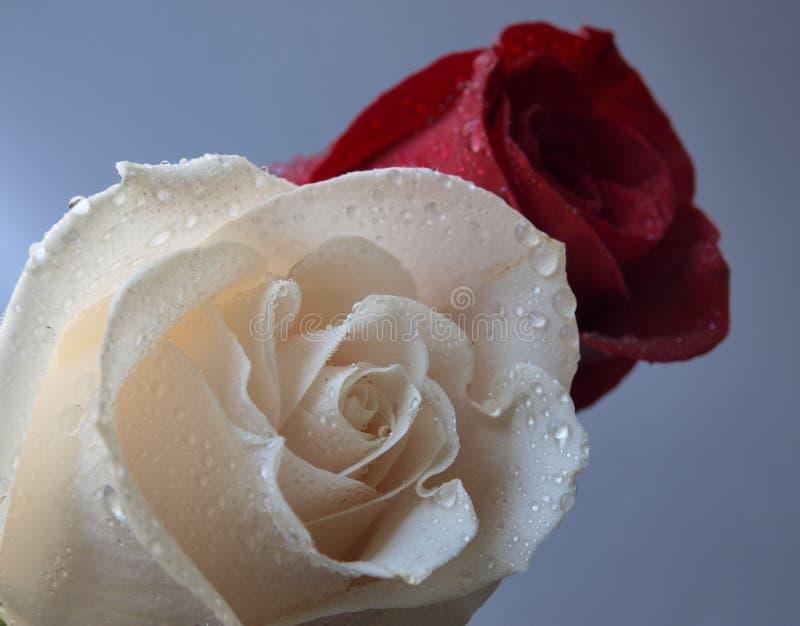 rose rosse bianche fotografia stock