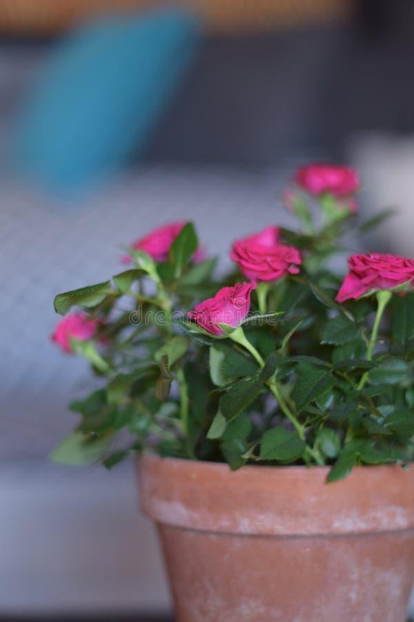 Rose rosse con i fogli verdi fotografia stock libera da diritti