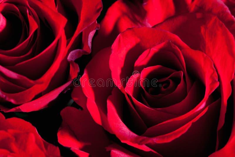 Rose rosse, fine su immagine stock libera da diritti