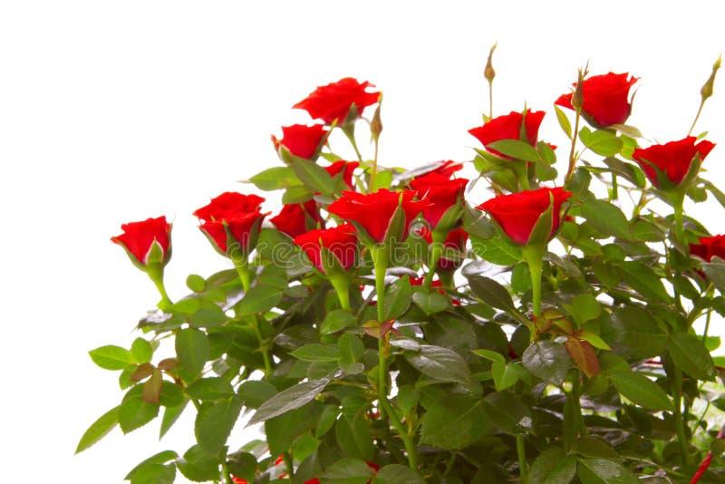 Rose rosse isolate fotografie stock libere da diritti
