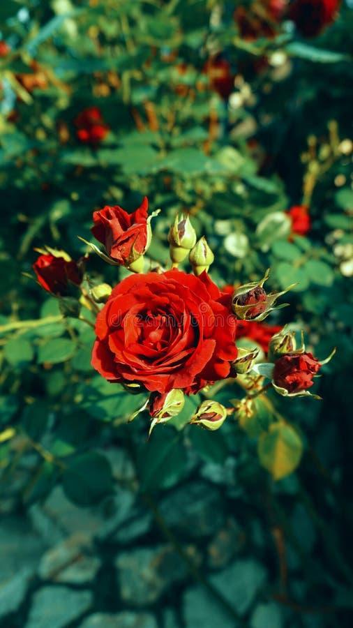 Rose rosse nel giardino fotografia stock libera da diritti