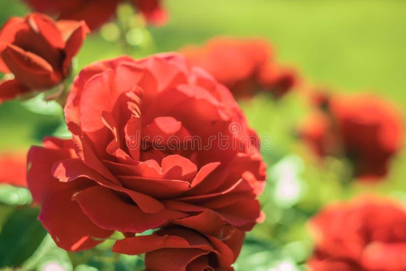 Rose rosse nel giardino Fiori di estate nel parco Bello fondo floreale del fondo? con i fiori variopinti fotografia stock libera da diritti