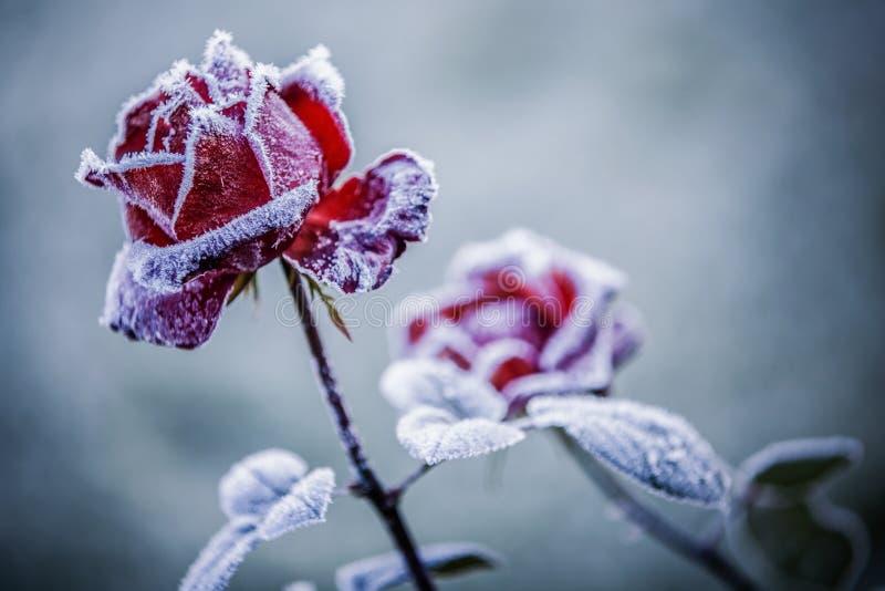 Rose rosse nell'inverno fotografia stock libera da diritti