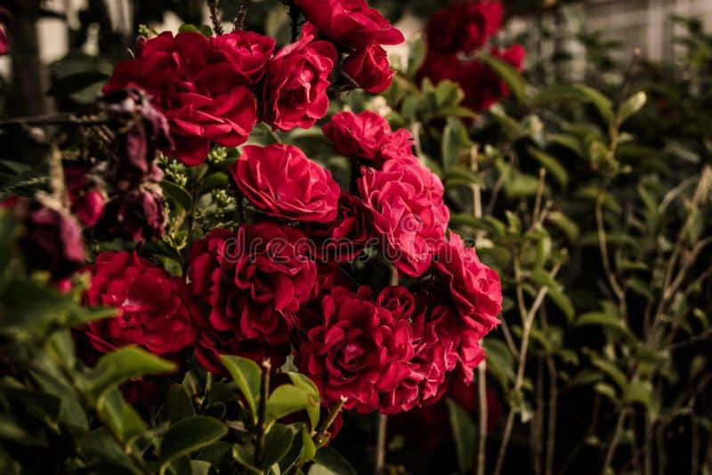 Rose rosse selvatiche fotografia stock libera da diritti