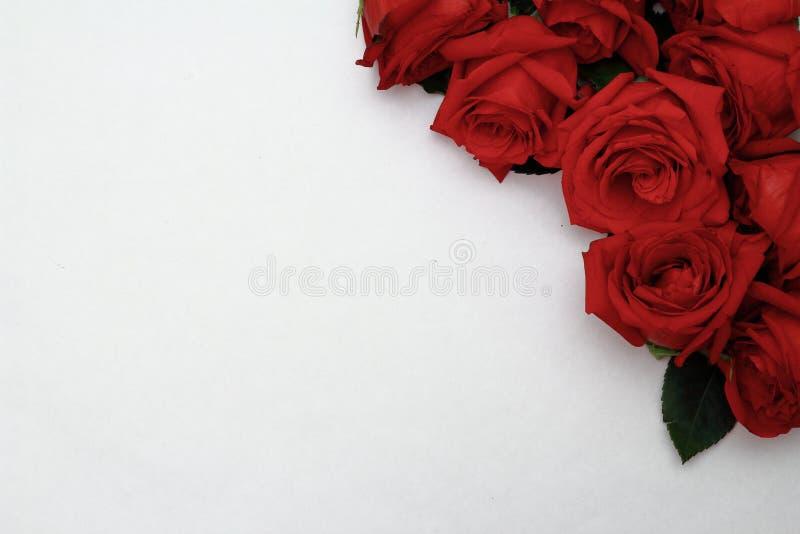 Rose rosse in un angolo di fondo bianco immagine stock