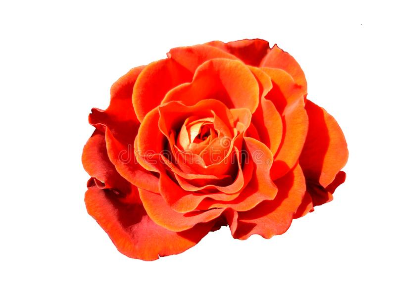 Rose rouge images stock