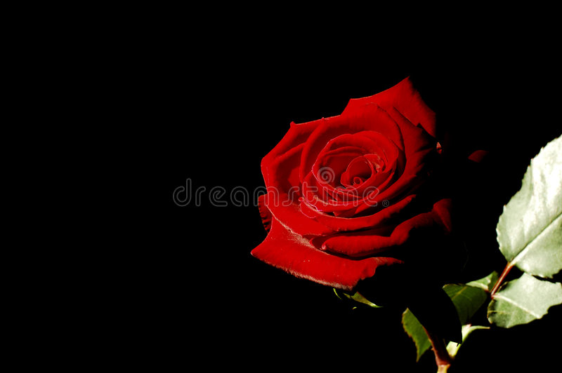 Rose rouge photo libre de droits