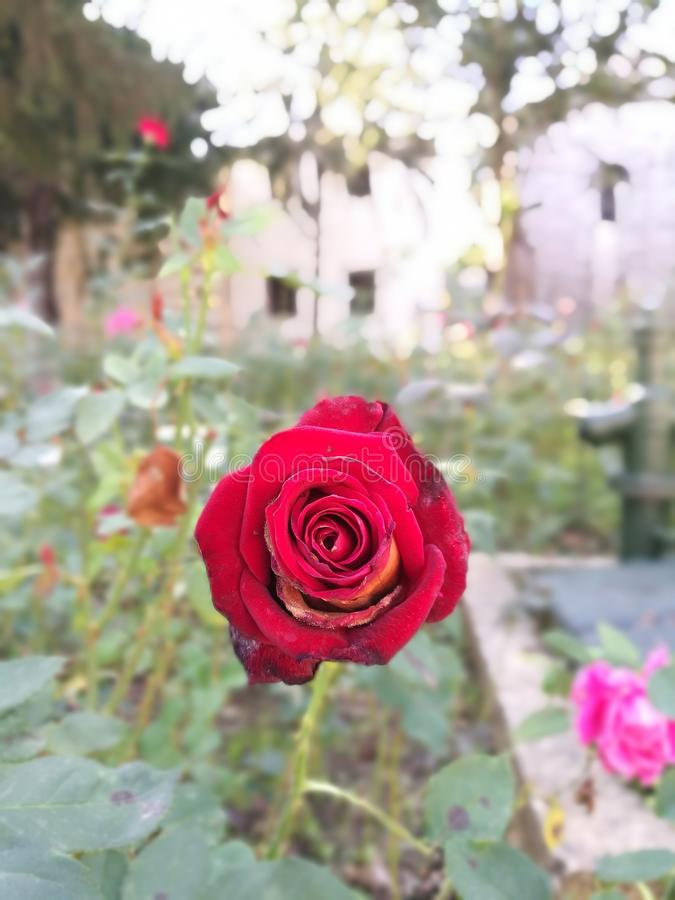 Rose rouge au palais de Topkapi photographie stock