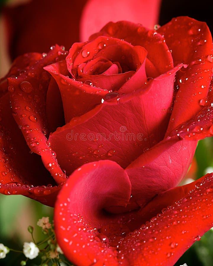 Rose rouge avec des baisses de l'eau images libres de droits