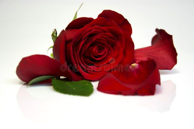 Rose rouge avec la réflexion images stock
