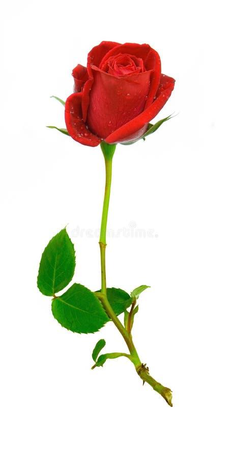 Rose rouge avec la ros e photo stock image du - Dessin de rose rouge ...