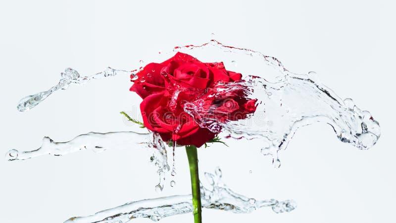 Rose rouge avec une éclaboussure de l'eau photographie stock libre de droits